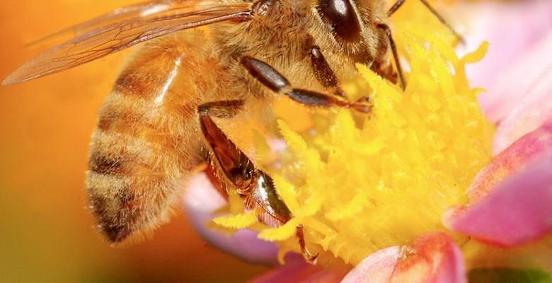 Apiculture : des projets de sélection génétique des abeilles
